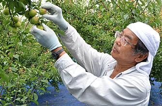 梅酒・梅ジュース用南高青梅の収穫